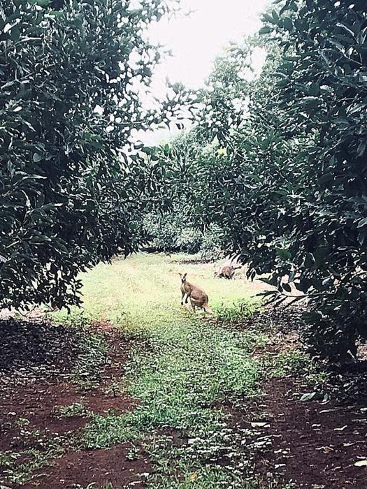 Kangguru Melintas | Foto: Michael Erlangga